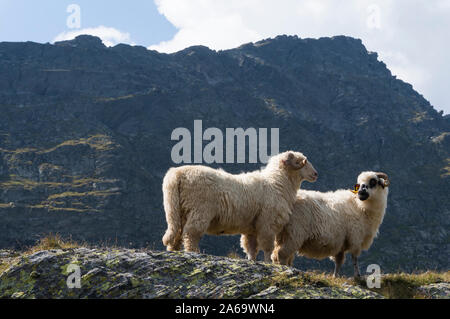 Rocky Mountain Big-Horned Sheep in Carpathian Mountains - Stock Photo