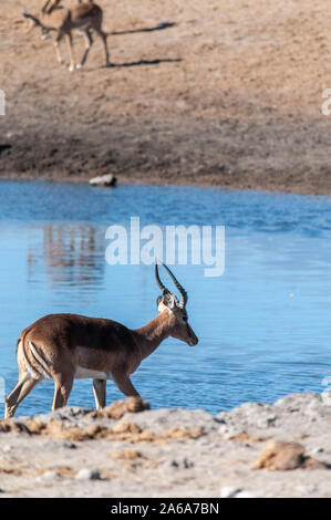 A group of Impalas - Aepyceros melampus- drinking from a waterhole in Etosha National Park, Namibia. - Stock Photo