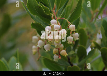 strawberry tree blossom Latin arbutus unedo showing bell-shaped flowers in early October in Italy - Stock Photo