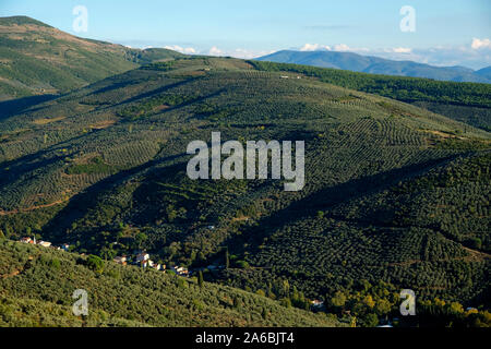 olive groves in gemlik create beautiful images - Stock Photo