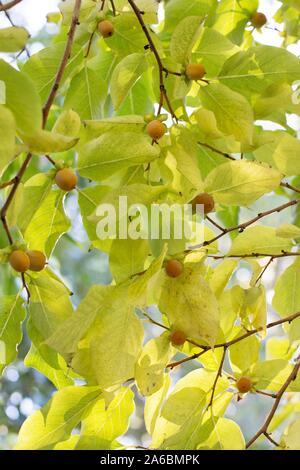 Diospyros lotus - date-plum tree, in autumn. - Stock Photo