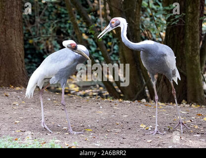 Pair of white storks communicating intensively - Stock Photo