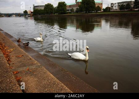 A pair of Swans swim along the River Trent in Nottingham, England, whilst a pair of Mallards walk beside them on the riverbank steps. - Stock Photo
