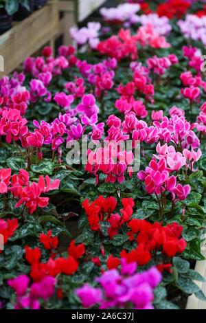 Pink/purple and red Cyclamen plants, hardy tuberous perennials for sale in a garden centre, England, UK Stock Photo