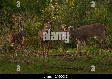 Three antlered male white-tailed deer bucks (Odocoileus virginianus) in the autumn in Michigan, USA. - Stock Photo