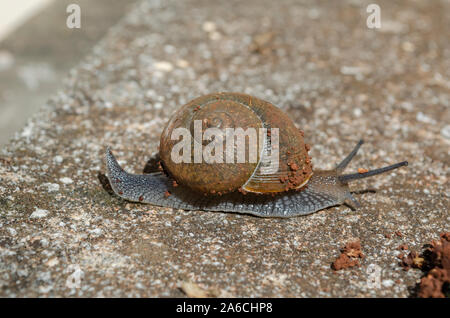 Shell Snail Crawling On Concrete - Stock Photo