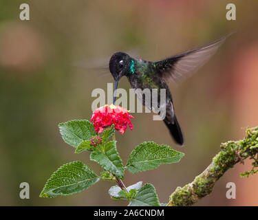 A male Magnificent Hummingbird - Eugenes fulgens, feeds on a tropical flower in Costa Rica.   Flash was used to partially freeze the motion of the win - Stock Photo