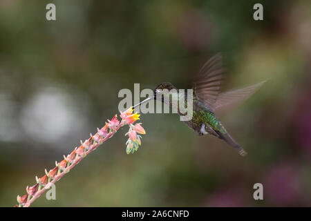 A male Magnificent Hummingbird - Eugenes fulgens, feeds on a tropical flower in Costa Rica.   Flash was used to partially freeze motion of the wings. - Stock Photo