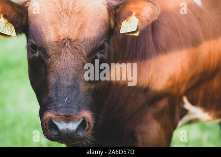 Brown beef master bull cattle head on image from the Netherlands - Stock Photo