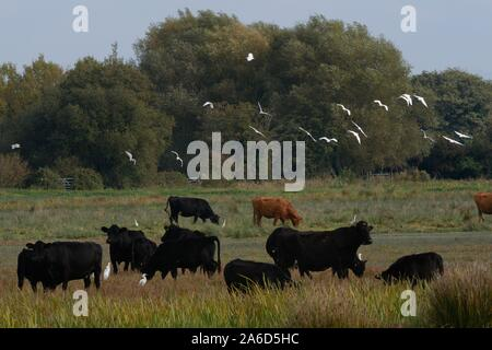 Cattle egret (Bubulcus ibis) flock flying over and foraging near cattle grazing on marshy pastureland, Somerset Levels, UK, October 2019. - Stock Photo