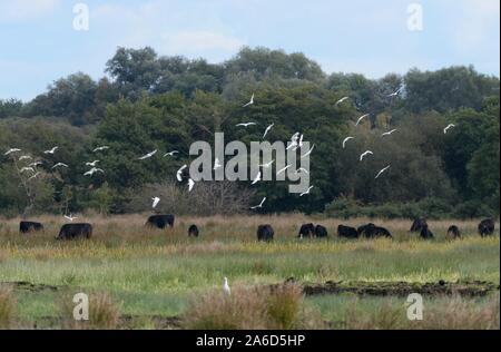 Cattle egret (Bubulcus ibis) flock flying over cattle grazing on marshy pastureland, Somerset Levels, UK, October 2019. - Stock Photo