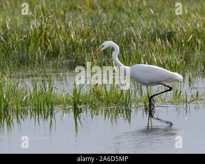 Great white egret (Egretta alba) hunting for fish in a marshland pool, Somerset Levels, UK, October. - Stock Photo
