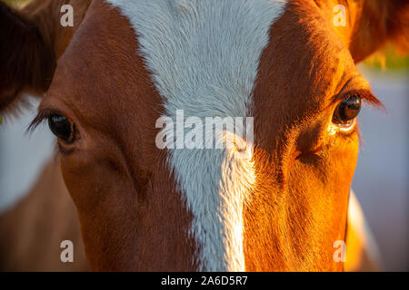 heasdshot forehead close up image of a cow cattle ranch - Stock Photo