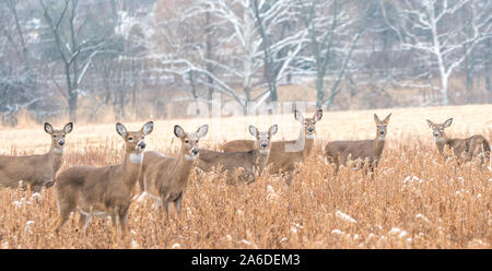 Herd of white-tailed deer (Odocoileus virginianus) in field on winter morning. - Stock Photo