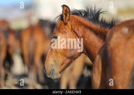 A Yilki Horse in Kayseri City, Turkey - Stock Photo