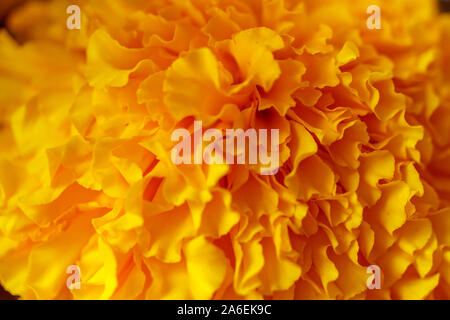 Floral wallpaper. Marigold flower close up, blurred. Bali Island, Indonesia - Stock Photo
