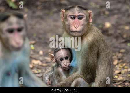 A Portrait of The Rhesus Macaque Mother Monkey Feeding her Baby and showing emotions - Stock Photo