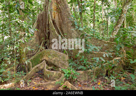 A giant tree at Tambopata National Park in Peru. - Stock Photo