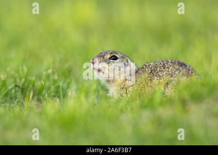 Endangered european ground squirrel, spermophilus citellus, lying on green field hiding. Wild animal in nature early in the morning. - Stock Photo