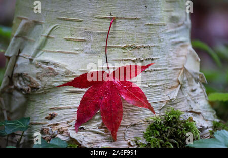 Fallen red acer leaf in close up of an autumnal landscape, autumn colours of the foliage of deciduous trees in  woodland  in English countryside - Stock Photo