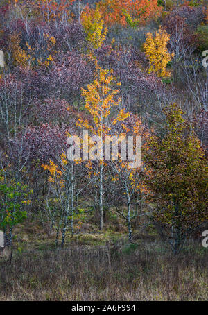 Autumnal landscape, autumn colours of the foliage of deciduous trees in  woodland  in English countryside - Stock Photo