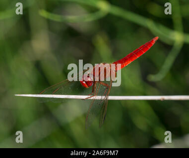 Male Scarlet Dragonfly (Crocothemis erythraea) on a rush stem, Milos, Cyclades Islands, Greece. - Stock Photo