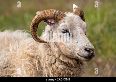 Icelandic sheep (Ovis), animal portrait, Iceland - Stock Photo