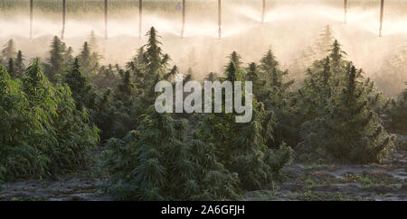 Hemp 'Frosted Lime' strain maturing,   Linear Self Propelled Irrigation System operating  'Cannabis sativa', early morning light. - Stock Photo