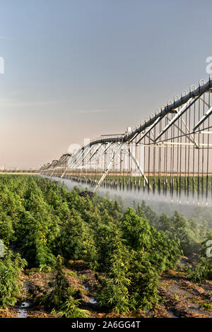 Industrial Hemp crop maturing, 'Frosted Lime' strain,  Linear Self Propelled Irrigation System operating  'Cannabis sativa', early morning light. - Stock Photo
