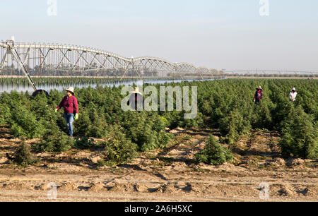 Industrial Hemp crop maturing, 'Frosted Lime' strain,  Linear Self Propelled Irrigation System operating  'Cannabis sativa',  crew checking crop. - Stock Photo