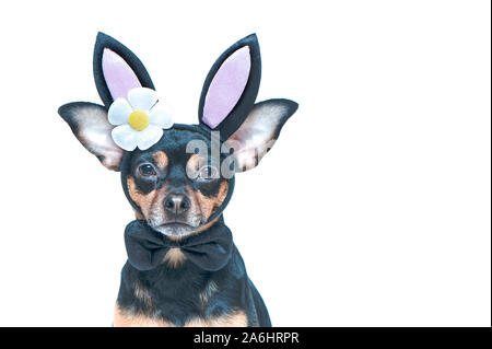 Dog in rabbit ears, easter theme, isolated portrait of a puppy in a hare costume - Stock Photo