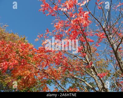 Upward shot of beautiful reds and orange colors of leaves in Autumn - Stock Photo