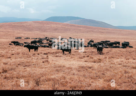 Herd of wild buffalo  in golden grass field in Ngorongoro consevation area, Serengeti Savanna forest in Tanzania - African safari wildlife watching tr - Stock Photo