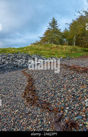 The small pebble beach of Dunstaffnage Castle, steeply shelving and marked with a seaweed and kelp high tide line on the foreshore. - Stock Photo