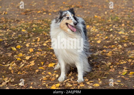 Cute shetland collie is standing on yellow leaves in the autumn park. Pet animals. Purebred dog. - Stock Photo