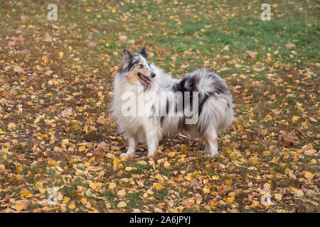 Blue merle shetland collie is standing on yellow leaves in the autumn park. Pet animals. Purebred dog. - Stock Photo