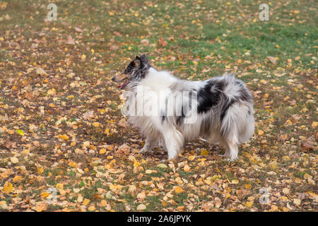 Cute blue merle shetland collie is standing on yellow leaves in the autumn park. Pet animals. Purebred dog. - Stock Photo