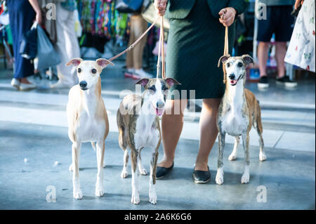 Owner keeps on leashes three whippets on dog show - Stock Photo