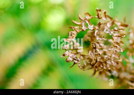 Close up of a dead piece of Bracken (pteridium aquilinum), showing the brown curled leaflets against a background of healthier green plants. - Stock Photo
