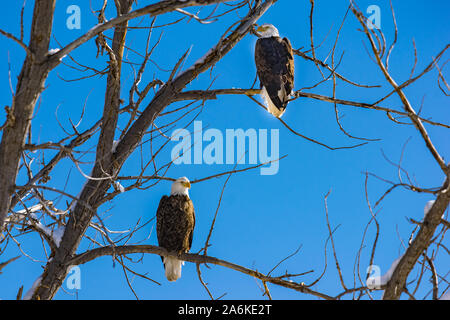 A Majestic Bald Eagle Pair Perched in a Tree - Stock Photo