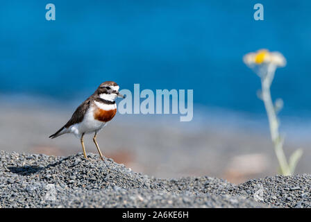 A Banded Dotterel on Beach in New Zealand - Stock Photo