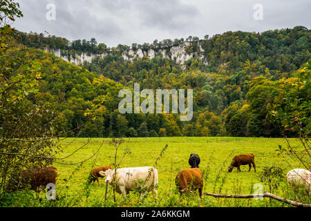 Germany, Herd of cows eating fruitful grass on green grasslands surrounded by colorful trees and rocks of swabian jura nature landscape in autumn seas - Stock Photo