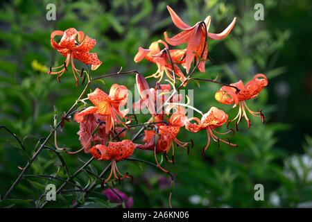 lilium lancifolium tigrinum splendens,orange,speckled markings, closeup, flowers, plant portraits, flowering bulbs, tiger lily, lilies, RM Floral - Stock Photo
