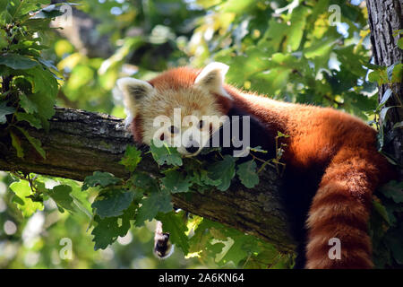 Very Cute Red Panda Ailurus Fulgens Lying on Branch - Stock Photo