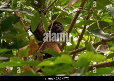 A Geoffroy's Spider Monkey in Costa Rica - Stock Photo