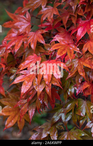Close up of wet red Acer Palmatum leaves after a shower of rain in Westonbirt Arboretum, Gloucestershire, England, UK - Stock Photo