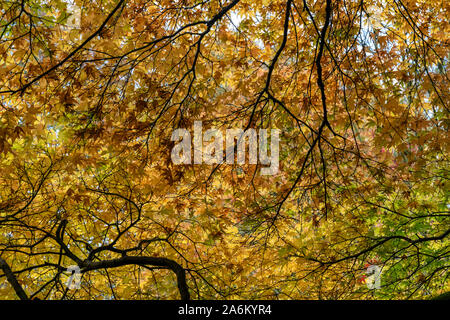 The Sunlit golden leaves of the Japanese Maple Acer amoenum in autumn at Westonbirt, Gloucestershire, England, UK - Stock Photo