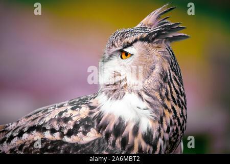 eagle owl close up profile