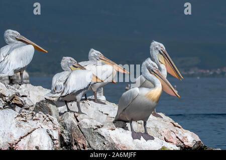 Dalmatian pelican - Pelecanus crispus. The most massive member of the pelican family, and perhaps the world's largest freshwater bird.