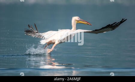 Great white pelican - Pelecanus onocrotalus. Also known as the eastern white pelican or rosy pelican